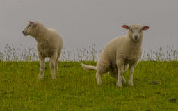 Young sheep walk on green grass Stock Photo