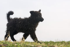 Young sheepdog Royalty Free Stock Photography