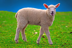Young sheeps Royalty Free Stock Photos