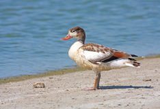 Young shelduck Royalty Free Stock Photos