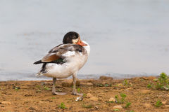 Young Shelduck resting on the shore Royalty Free Stock Photos