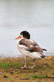 Young Shelduck resting on the shore Royalty Free Stock Images
