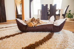 Young sheltie lies in a basket and sleeps Stock Images
