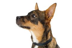 Young Shepherd Crossbreed Dog Side Closeup. Closeup profile view of a cute young shepherd mixed breed dog looking to the side. Isolated on white Stock Photography