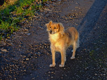 Young shepherd dog in evening sunlight Stock Images