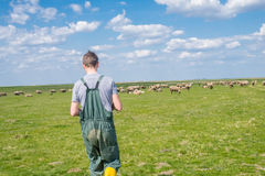 The young shepherd. Farm life,  the young man kept a flock of sheep Royalty Free Stock Photos