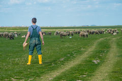 The young shepherd. Farm life,  the young man kept a flock of sheep Royalty Free Stock Images