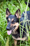 A young shepherd on a walk in the field. Young German shepherd standing in the grass with his tongue hanging out stock images