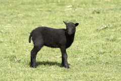 Young Shetland lamb still with tail Royalty Free Stock Photography