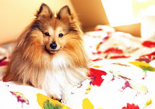 Young shetland sheepdog lies bed Royalty Free Stock Photography