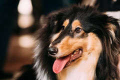 Young Shetland Sheepdog, Sheltie, Collie dog. Stock Photo