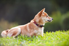 A young shiba inu in green garden. Stock Images