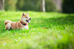 A young shiba inu Stock Images