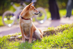 Young shiba inu sits in the park. A young shiba inu sits in the park Royalty Free Stock Photo