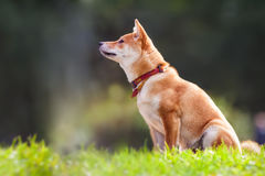 A young shiba inu sits in the park.  Royalty Free Stock Photo