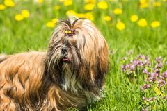 Young Shih Tzu dog in grass field outdoors. Funny Shih Tzu dog sitting in green grass royalty free stock photography