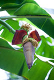 young shoot of a banana plant Stock Images