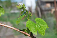 Young shoot of grapes on bush in the garden Stock Image