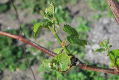 Young shoot of grapes on bush in the garden Stock Images
