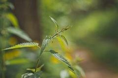 The young shoot of nettle on the background of green forest 9249 stock photos