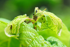 Young shoot viburnum, aphids damaged lat. Aphidoidea and ants lat. Formicidae Royalty Free Stock Photography