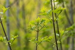 Young shoots Acer platanoides in the city garden. Branches of maple with young leaves in the city garden.Acer platanoides. Spring stock photo