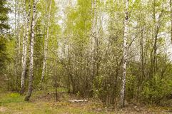Young shoots in a birch grove in the spring royalty free stock photo