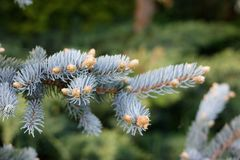 Blue spruce. Young shoots of blue spruce Stock Photography