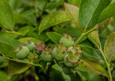 These are young shoots of blueberries. These fruits will become beautiful blueberries all blue. It is a shrub that makes beautiful fruits stock photography