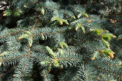 Young shoots on the branches of the blue spruce. The nature of the flora of temperate climate. stock photo