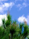 Young Shoots of Cedar Tree. Vertical Young Shoots of Cedar Tree on Blue Sky background Outdoors. Focus on Foreground royalty free stock images