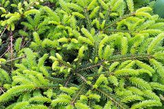 Young shoots of coniferous trees. Beautiful tree branches with young light green shoots stock photos