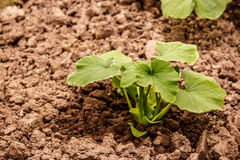 The young shoots of cucumber in a greenhouse in fertile ground Stock Photography