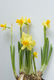 Young shoots of daffodils Stock Photography