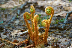 Young shoots of fern in spring forest Royalty Free Stock Image
