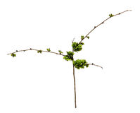 Young shoots, fresh leaves, green unripe seeds of elm branch, bl Royalty Free Stock Photos