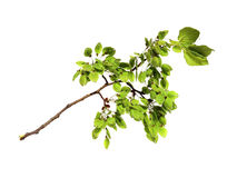 Young shoots, fresh leaves, green unripe seeds of elm branch, bl Royalty Free Stock Photo