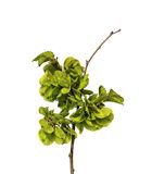 Young shoots, fresh leaves, green unripe seeds of elm branch, bl Stock Photography