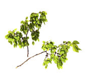 Young shoots, fresh leaves, green unripe seeds of elm branch, bl Royalty Free Stock Photography