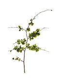 Young shoots, fresh leaves, green unripe seeds of elm branch, bl. Ossoming branch of catkins willows close up in early spring, isolated elements on white Stock Images