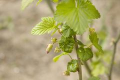 Young shoots of the gooseberry bush grow out of the twig. Young leaves and undeveloped flowers stock image