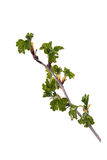 Young shoots of gooseberry. On a white background Royalty Free Stock Photography