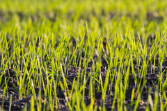 Young shoots of grain in the field Stock Photo