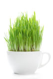 Young shoots of grass Stock Photography