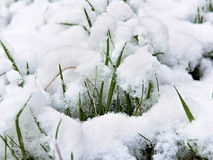 Young shoots of grass under the snow close-up Royalty Free Stock Image