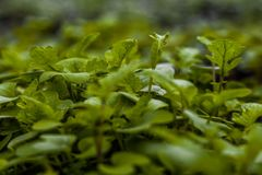 The young shoots green leaves of mustard in the vegetable garden Royalty Free Stock Photography
