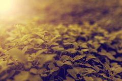 The young shoots green leaves of mustard in the vegetable garden Royalty Free Stock Photos