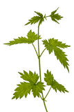 Young shoots of hops, isolated on white background Royalty Free Stock Image