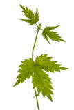 Young shoots of hops, isolated on white background Royalty Free Stock Images