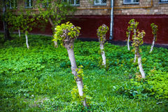 Young shoots and leaves on cut-off maples. Young shoots and leaves on trunks of cut-off maples stock images